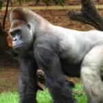 Makokou the gorilla's historic surgery shared in new documentary
